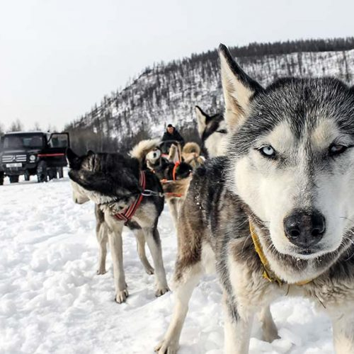 dog-sled-dogs6