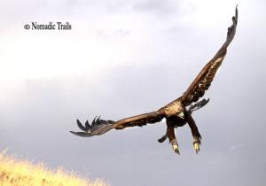 Golden-Eagle-landing222