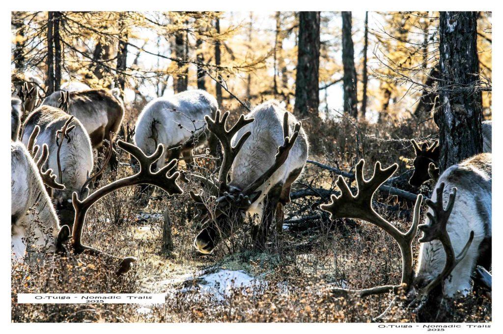 Reindeer in autum camp