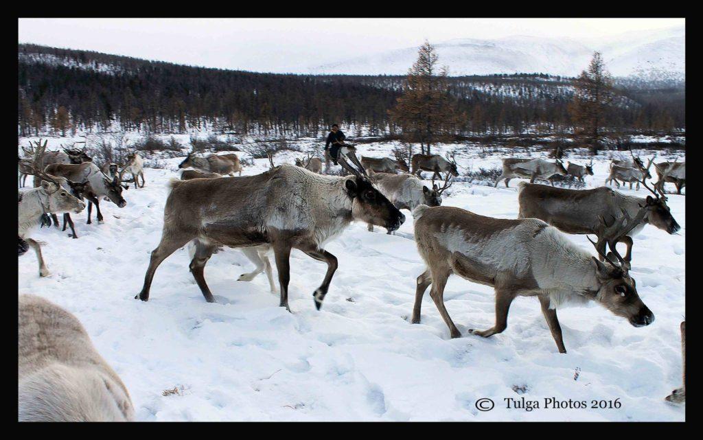 rein-deer-in-the-pasture-land