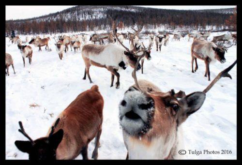 reindeer-selfie