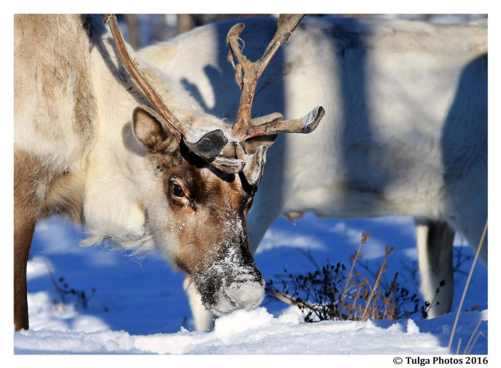 reindeer-taiga