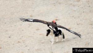flying eagle2