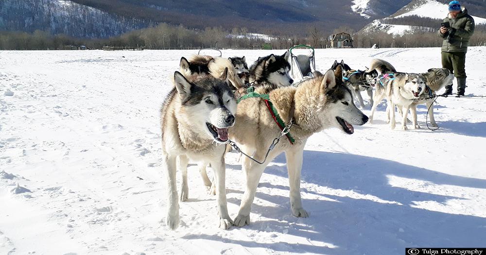 Winter dog sledding in Mongolia