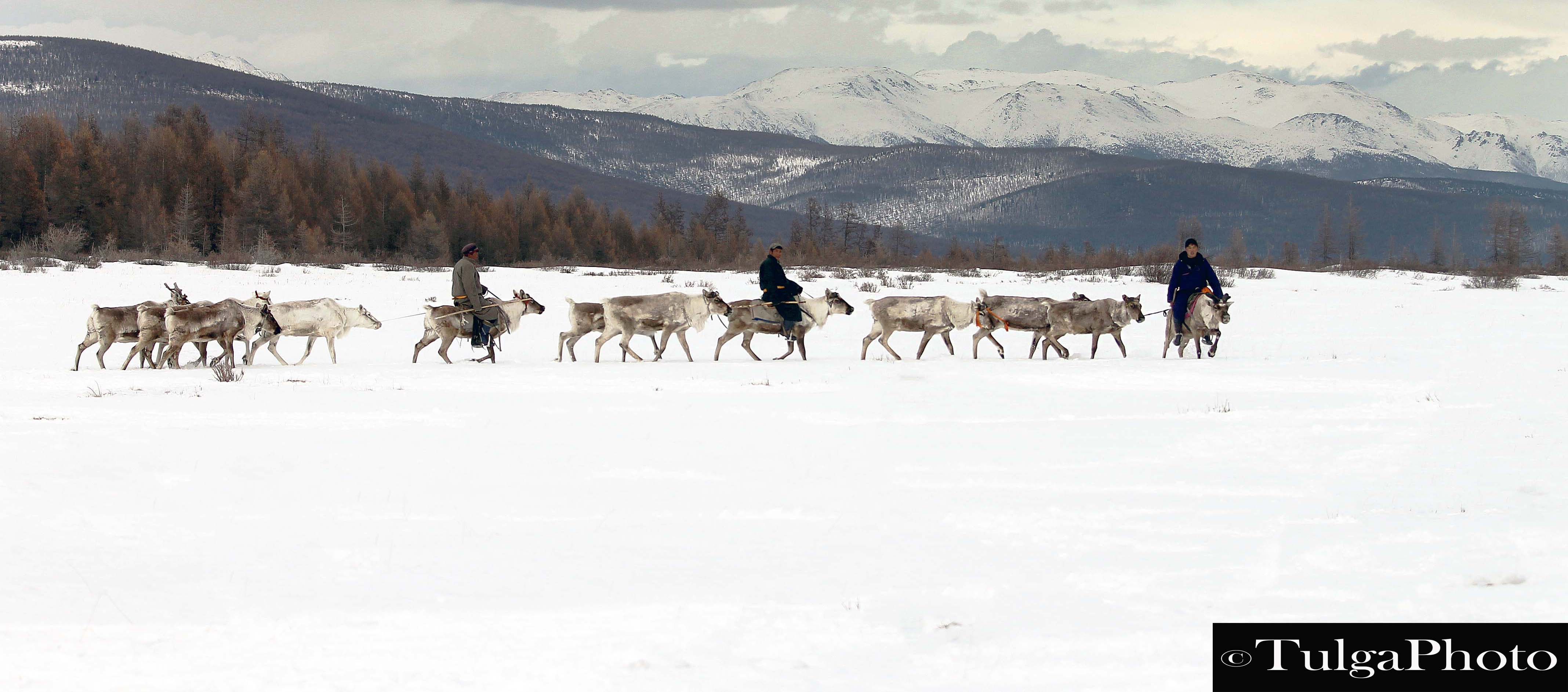Nomadic Migration- Reindeer herders on the move