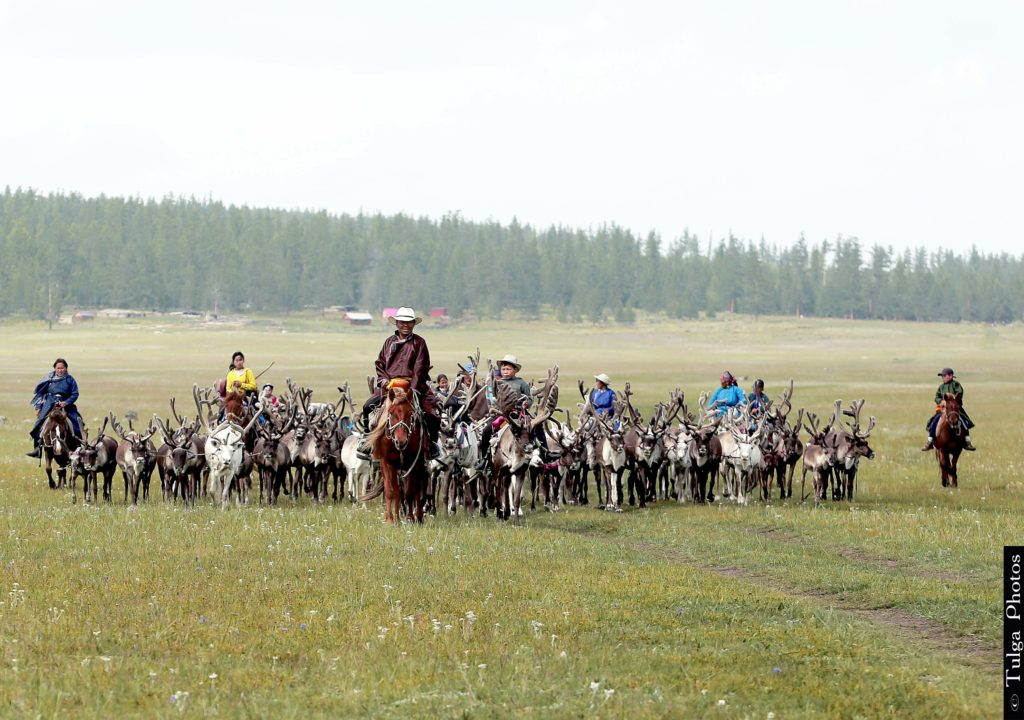 Reindeer tribe moving