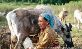 milking reindeer at Dukha tribe camp