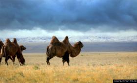 Gobi Mongolia Camel scenery