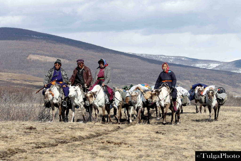 Reindeer tribe migrating from their winter camp to spring camp