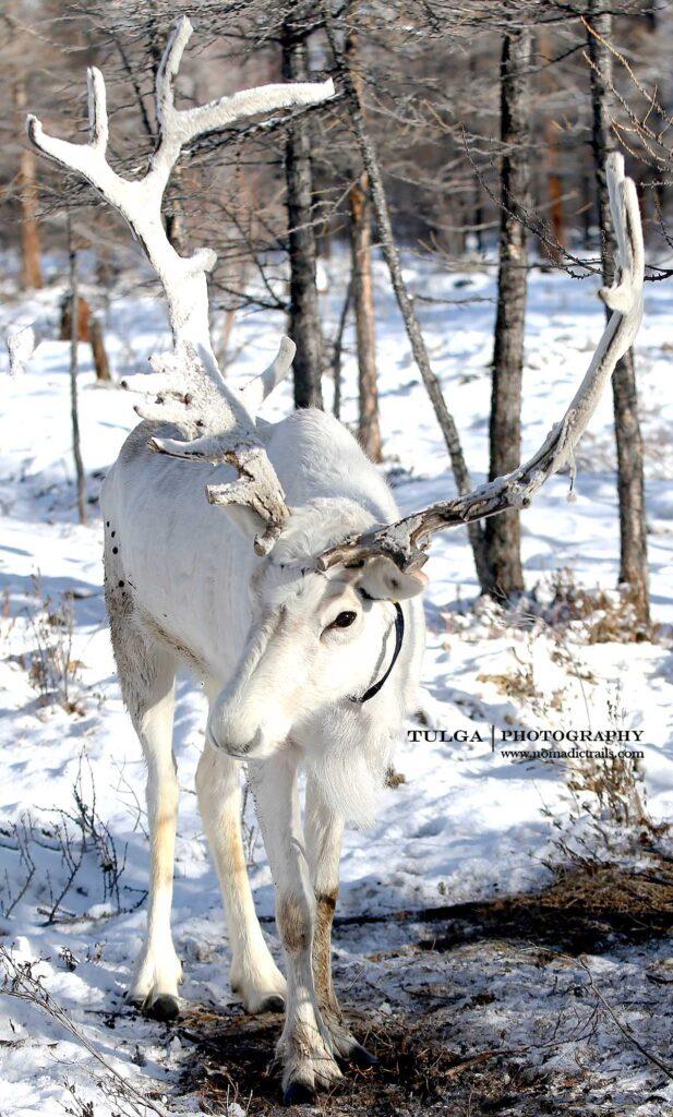 Rare white reindeer