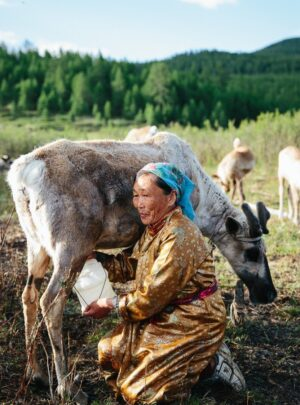 Reindeer milking at Herders camp with Nomadic Trails