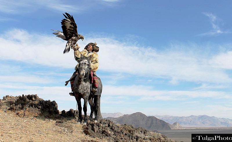 Golden eagle master with eagle landing on arm, Altai town