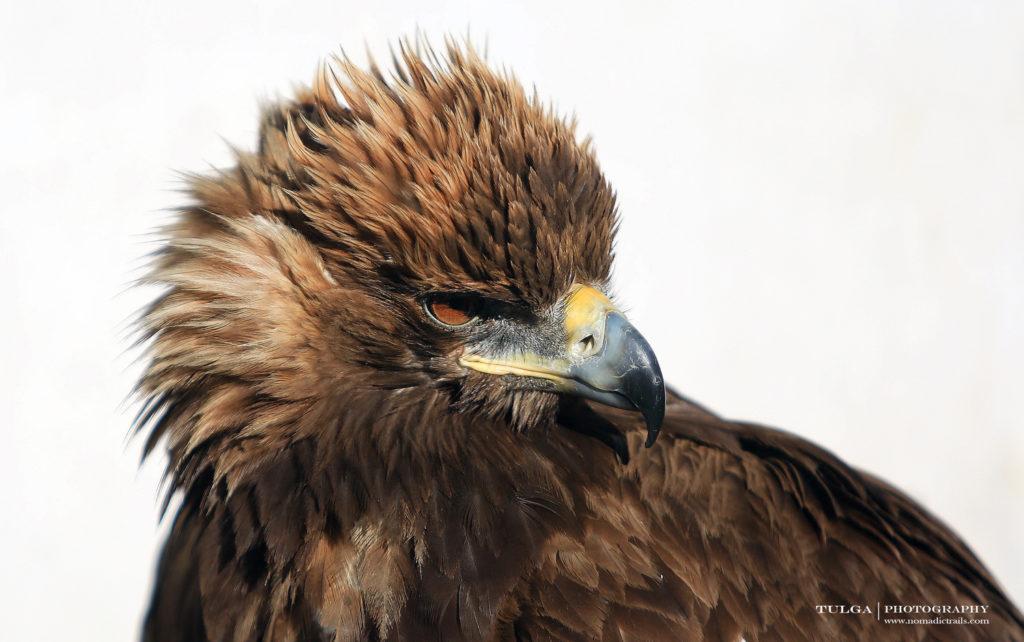 Golden Eagle | Golden Eagle Festival Mongolia - Most necessary information - Nomadic Trails