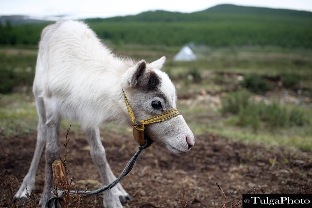 Baby reindeer | Top 5 Photography Tours Mongolia - Nomadic Trails