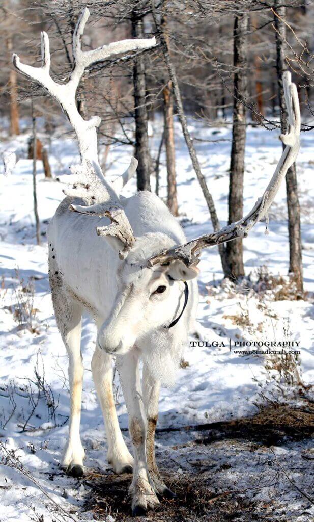 The White Spirit - rare white reindeer in Mongolia