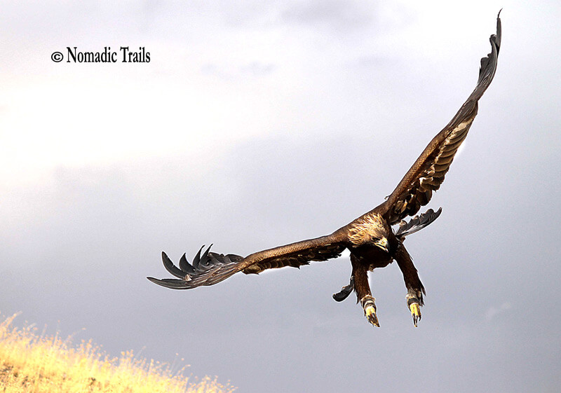 Golden Eagle in flight | The Art of Hunting with Golden Eagles - Nomadic Trails