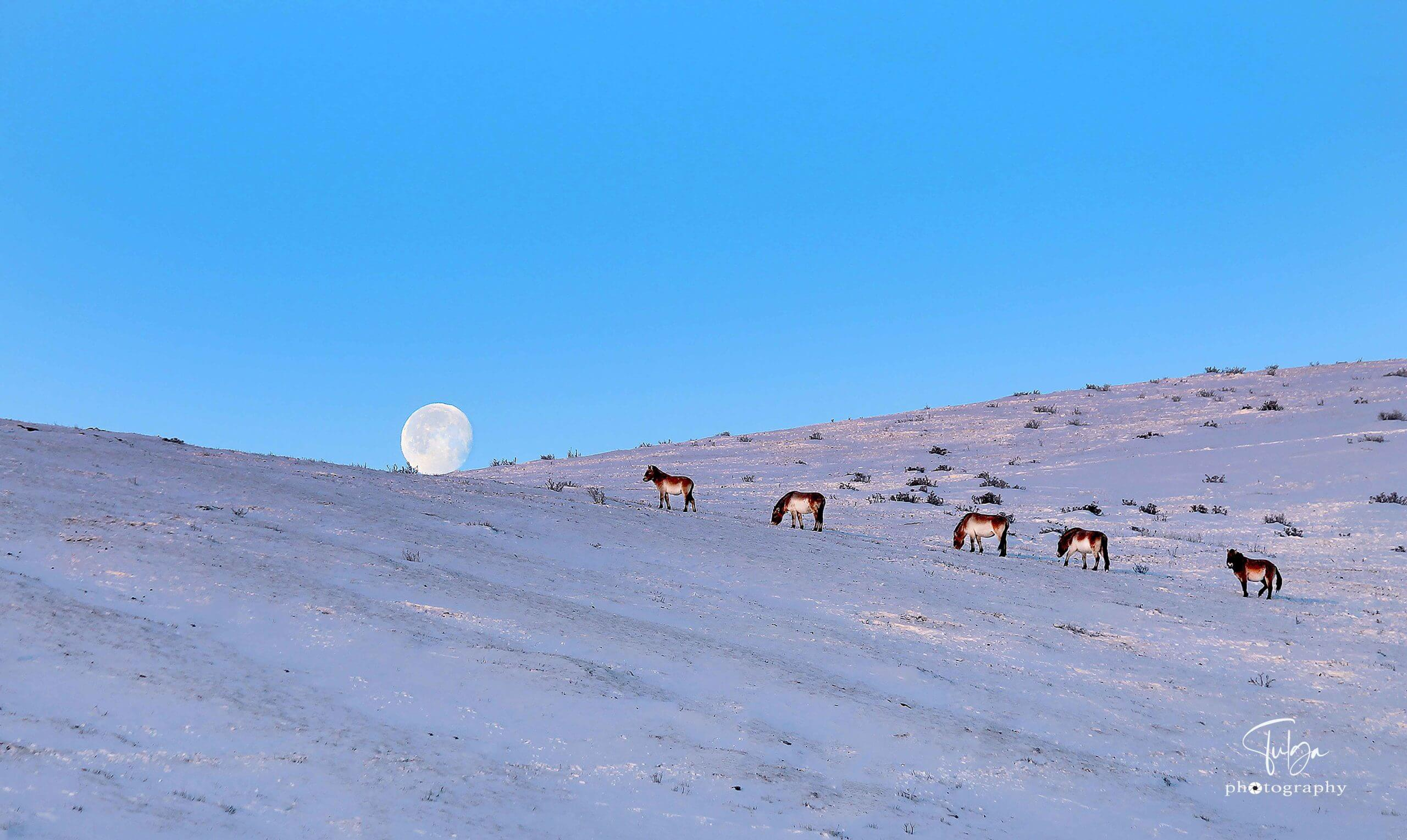 short tour mongolia to khustai national park - takhi horses with winter scenery