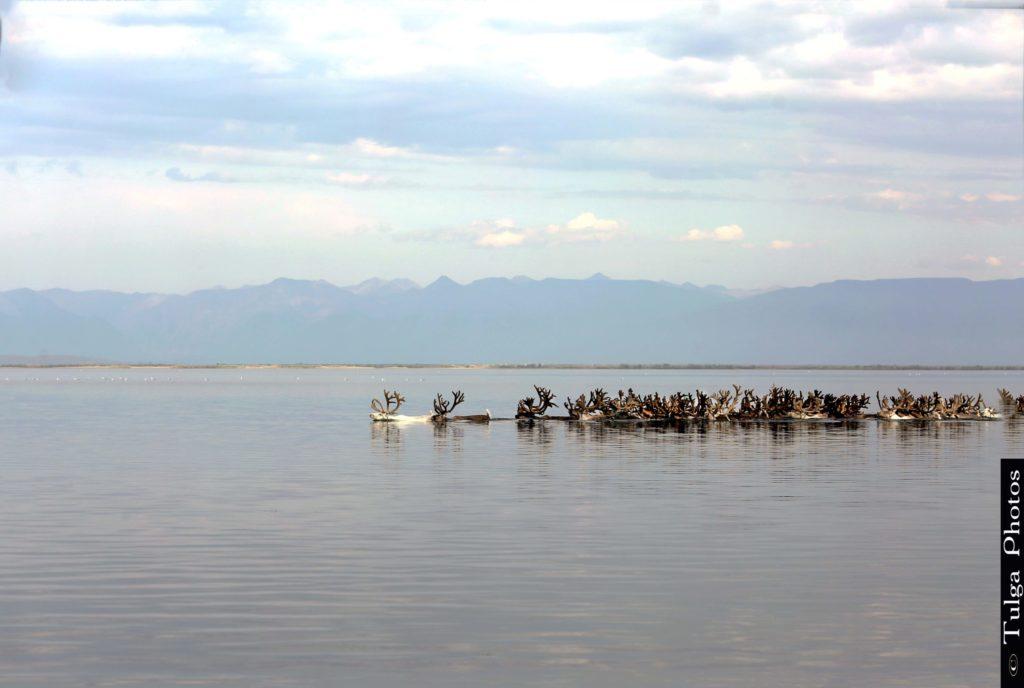 Watering the reindeer at the Reindeer Festival Mongolia