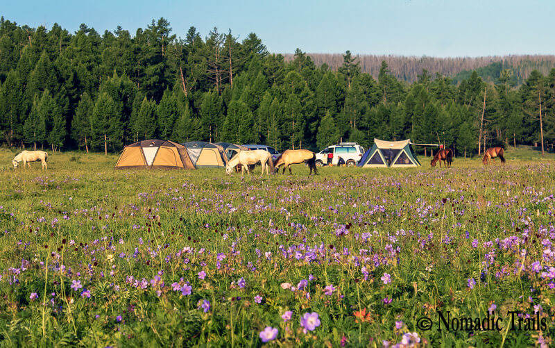 tented camp site with flowers and horses | Top 10 things to do in Mongolia - Nomadic Trails