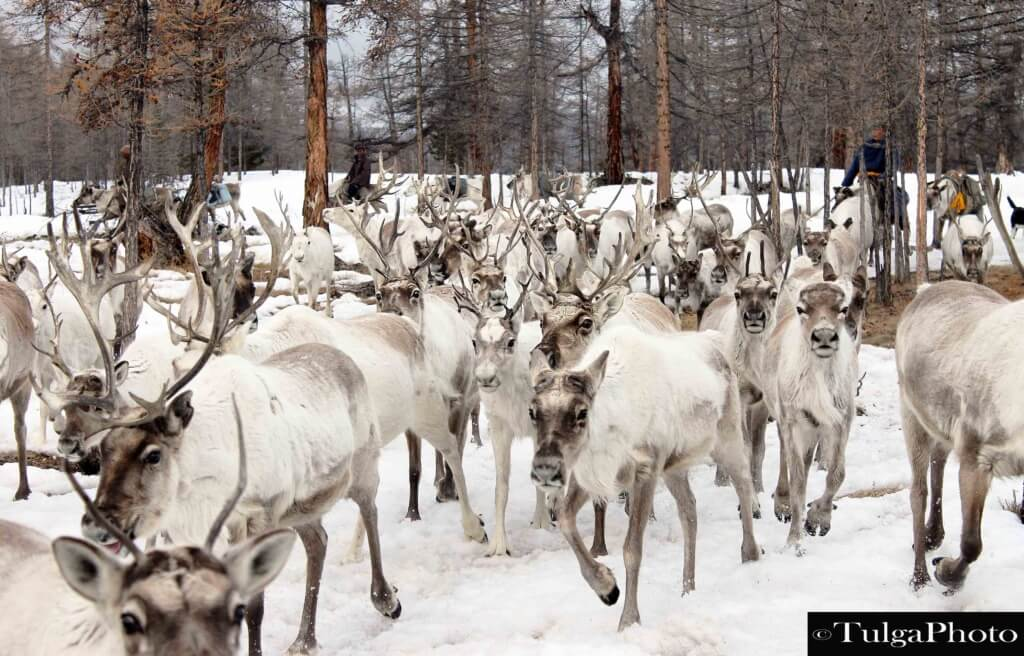 winter spring reindeer