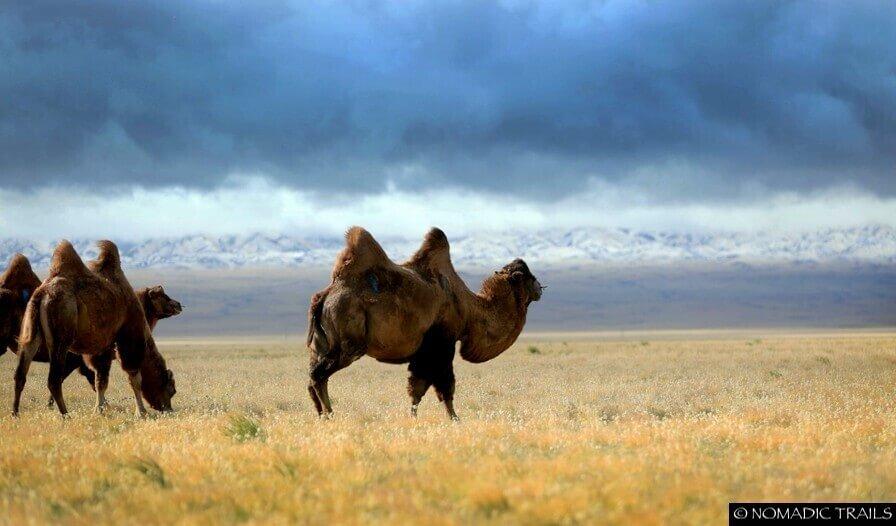 Gobi Mongolia Camel scenery - Top 5 photography tours Mongolia