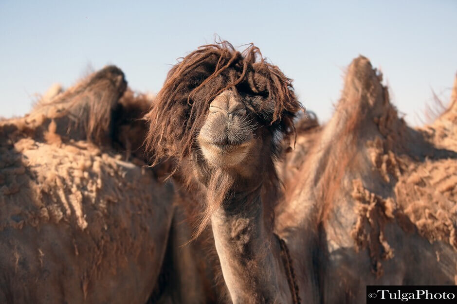 """Mongolian Bactrian camel with  """"cool"""" hairstyle"""